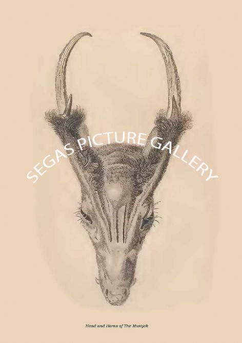 Fine art print of the Head and Horns of The Muntjak by Sir William Jardine(1835)